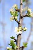 Blooming plum tree. Stock Photos
