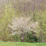 Blooming plum tree. Lonely blooming plum tree near the forest Stock Photo