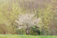 Blooming plum tree Royalty Free Stock Photography