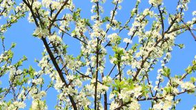 Blooming plum tree, plum-tree branch covered with white flowers and foliage. Blooming plum tree. Plum tree branches covered with white flowers and foliage on stock footage