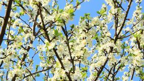 Blooming plum tree, plum-tree branch covered with white flowers and foliage. Blooming plum tree. Plum tree branches covered with white flowers and foliage on stock video footage