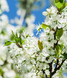 Blooming plum tree in spring. On a background of blue sky stock images