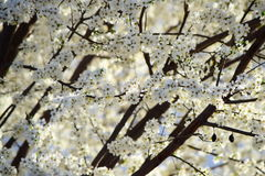 Blooming plum tree in the sun. Beautiful blooming  plum tree with white flowers in the shade and in the sun. Very contrasting photo Stock Photo