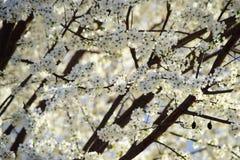 Blooming plum tree in the sun Stock Photo