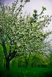 Blooming Plum Trees. Plum trees blooming after spring rain Royalty Free Stock Photos