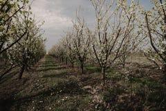 Blooming plum trees. Plum trees during blooming season, Poland Stock Photo