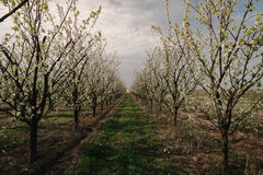 Blooming plum trees. Plum trees during blooming season, Poland Stock Images