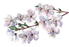 Blooming plum, watercolor Stock Photography