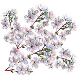 Blooming plum, watercolor. Blooming plum ,  white background, watercolor,  handmade Royalty Free Stock Photo