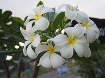 Blooming Plumeria Flowers Stock Images