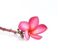 Blooming  Plumeria (frangipani) Royalty Free Stock Image