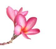 Blooming  Plumeria (frangipani) Stock Photos