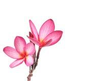 Blooming  Plumeria (frangipani) Royalty Free Stock Photo