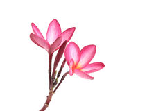 Blooming  Plumeria (frangipani) Stock Photography