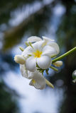 Blooming Plumerias Royalty Free Stock Image