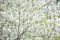 Blooming plumleaf crab apple, chinese apple branch. Malus prunifolia ornamental tree with white flowers and greenery. Fresh leaves. spring time nature scene Royalty Free Stock Photo