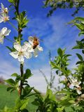 Plums which flourished in the early spring,bee on a flower stock photo