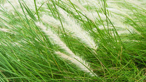Blooming poaceae in field Royalty Free Stock Photography