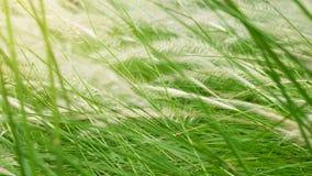 Blooming poaceae in field Royalty Free Stock Image
