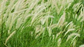 Blooming poaceae in field Stock Photo