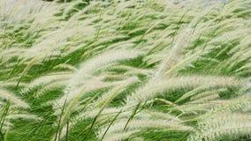 Blooming poaceae in field Stock Images