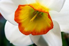 Blooming Poets Narcissus flower, know also as Poets Daffodil stock image