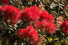 Blooming Pohutukawa tree Stock Photo