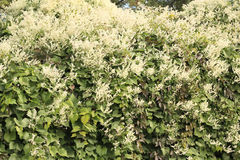 Blooming Polygonum Baldshuanicum and vitis in the autumn garden Stock Photos