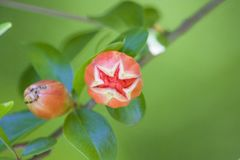 The blooming pomegranate flower is budding into a plant flower stock photos