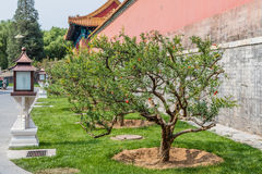 Blooming pomegranate trees in the Forbidden City or Gugong, Beijing, China Royalty Free Stock Image