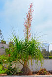 Blooming Ponytail Palm. Flower of the ponytail palm also known as elephant`s foot tree Beaucarnea recurvata or Nolina recurvata Stock Images