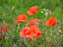 Blooming poppies Royalty Free Stock Photography