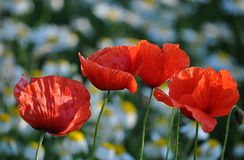 Blooming poppies Stock Images