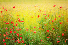 Blooming poppies on a field Stock Image