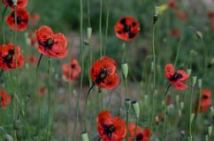Bee collects nectar from flowering poppies. Spring May honey raznotravie. Soft focus. Blooming poppies field close up illuminated by the sun royalty free stock photography
