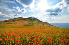 Blooming poppies Stock Image