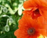 Blooming poppies Royalty Free Stock Image