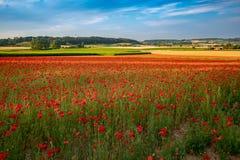 Free Blooming Poppies In Flanders Fields Stock Image - 155386011
