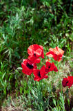 Blooming poppies Royalty Free Stock Photo