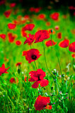 Blooming poppies stock photo