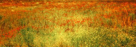 Blooming poppies in meadow, flowery meadow with herbs and summer flowers, Tuscany, Italy. Orange poppies, yellow herbs and summer flowers in flowery summer stock photo