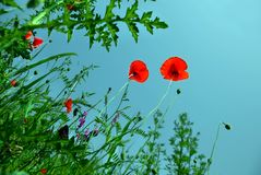 Blooming Poppies Over Blue Sky Royalty Free Stock Photography