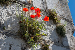 Blooming poppies among the rocks on the wall of the old tower Stock Image