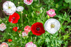 Blooming poppies in a summer garden against on a green grass Royalty Free Stock Photos
