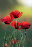 Blooming Poppies At Sunrise Stock Images