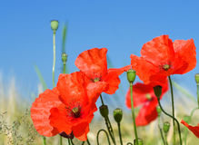 Blooming poppy Stock Images