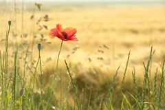 Blooming poppy backlit by the morning sun. Single red poppy growing wild on a wheat field on a sunny spring morning. June, Poland royalty free stock photography