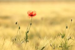 Blooming poppy backlit by the morning sun. Single red poppy growing wild on a wheat field on a sunny spring morning. June, Poland stock images