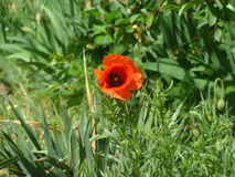 Blooming Poppy. Beautiful blooming red poppy in the grass Stock Image