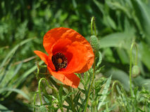 Blooming Poppy. Beautiful blooming red poppy in the grass Royalty Free Stock Photo